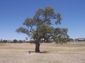 Historic Coolabah Tree